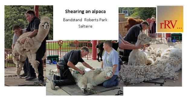 Composite of three colour images of shearing an alpaca; First pick up your alpaca, Just starting and Almost done